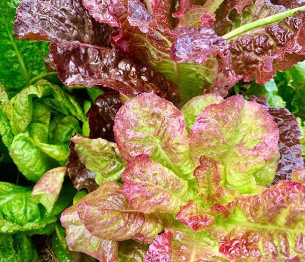 Lettuce by Sarah Chorn