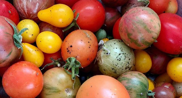 Tomatoes by Sarah Chorn